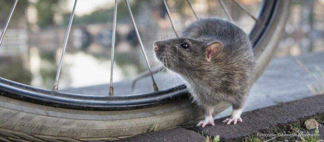 In Amsterdam wonen veel ratten