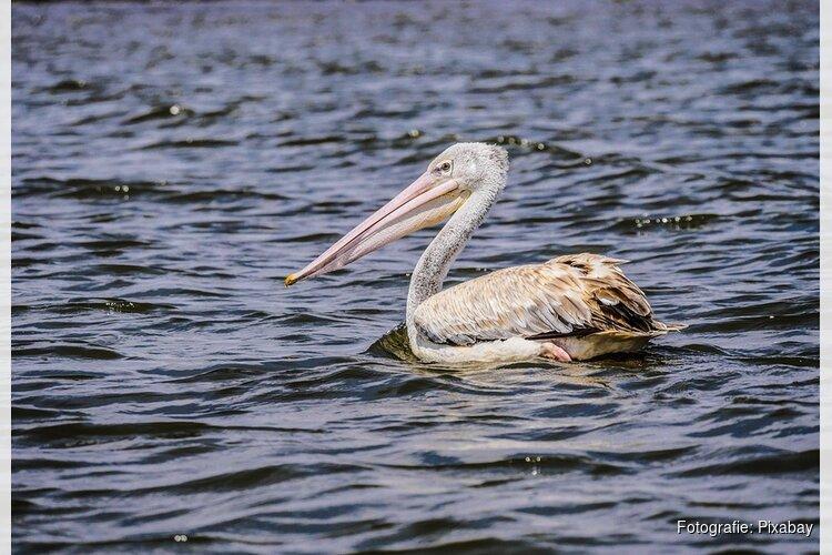 Ontsnapte pelikaan in goede gezondheid gevangen nabij spoorlijn
