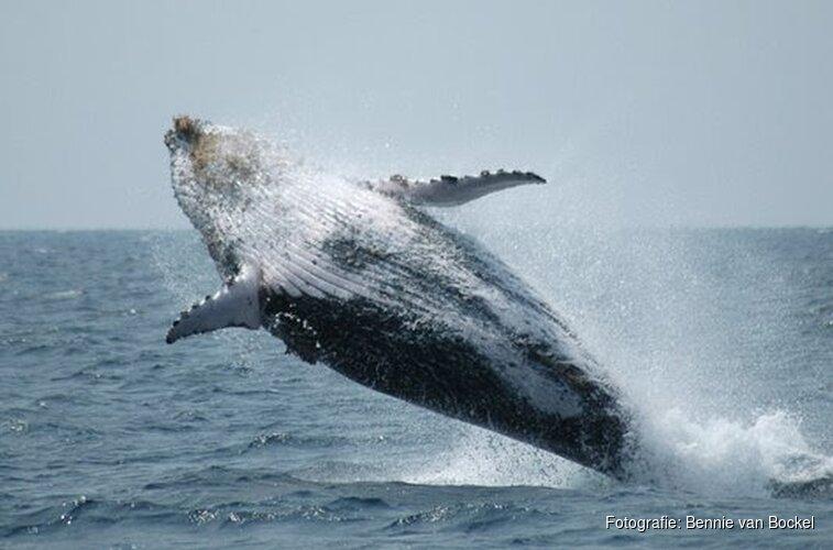 Geboortefeest voor walvissen in Het Scheepvaartmuseum