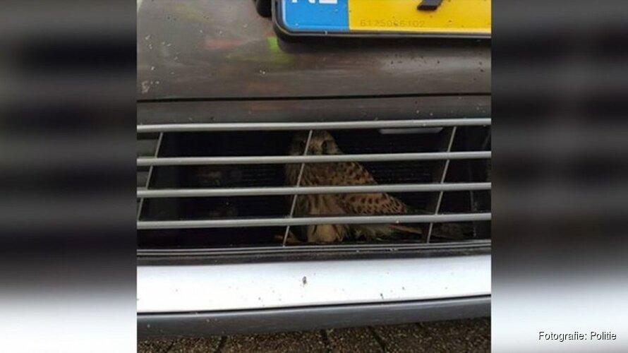 Politie opgetrommeld om valk uit auto te bevrijden