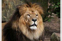 Iconische leeuw doodgegaan in ARTIS