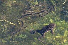 Let op, 'gele en oranje hesjes' beschermen trekkende padden