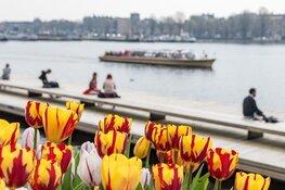 Een tulp voor iedere Amsterdammer
