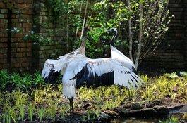 De Japanse kraanvogels in hun nieuwe verblijf in ARTIS