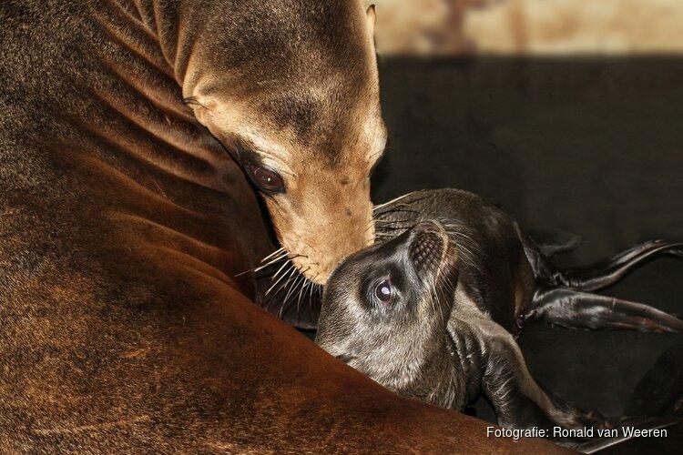 Californische zeeleeuwenpup geboren in ARTIS
