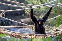 Zwarte slingerapen ontdekken hun nieuwe verblijf in ARTIS
