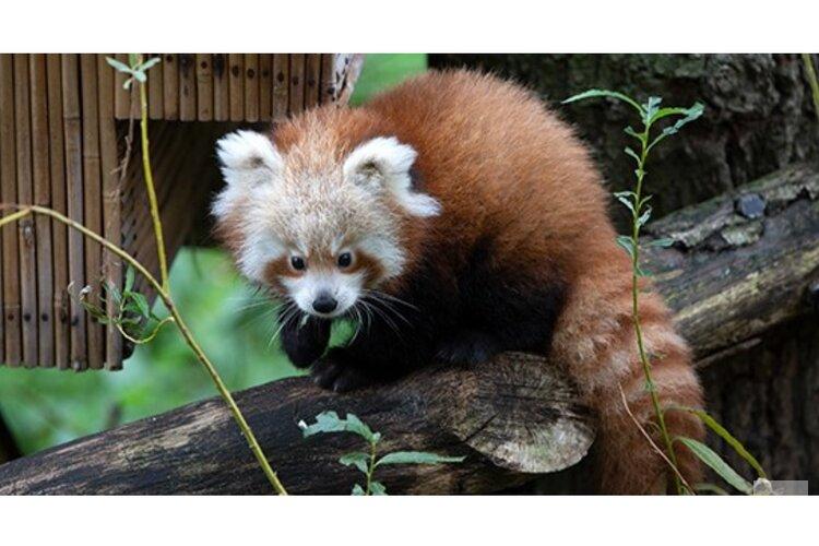 Kleine pandajong vaker buiten te zien