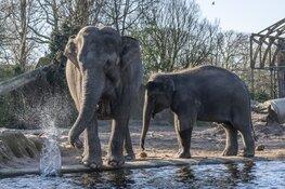 ARTIS verwacht olifantje