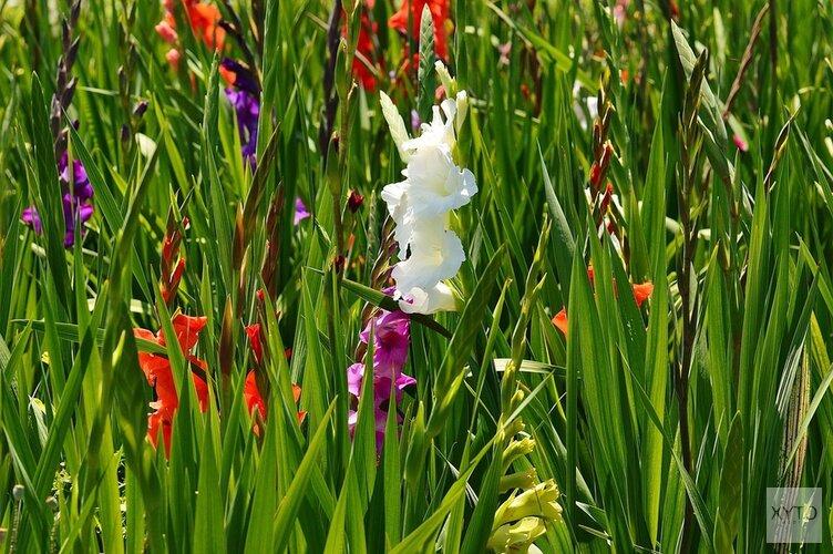 Geen vierdaagse, maar vier Amsterdamse stadsdelen voor de Gladiolen van boer Teunissen