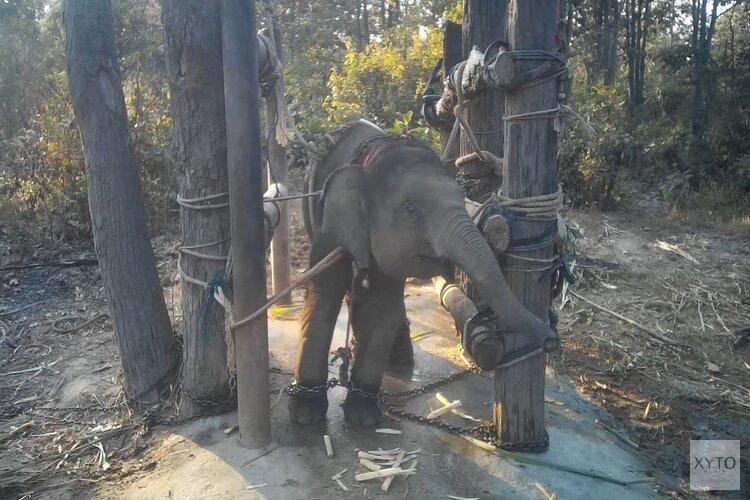 World Animal Protection toont nieuwe beelden van wrede olifantentraining