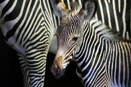 Grévy-zebra geboren in ARTIS