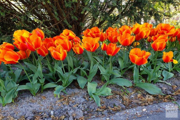 Najaarsactie voor voorjaarsvreugde   Zet in april je straat in bloei met tulpen